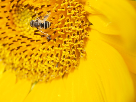 sunflower with insect Stock Photo