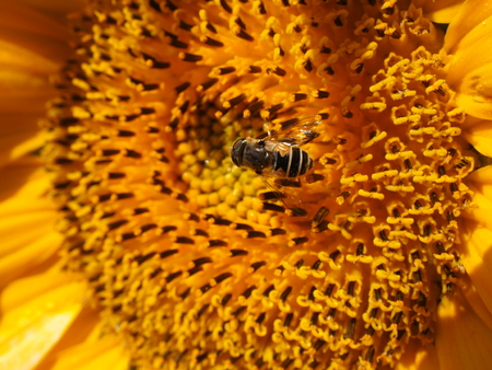 energetically: sunflower with insect Stock Photo