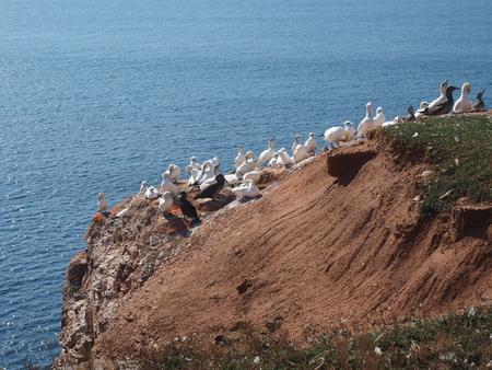 helgoland: lummen on the island Helgoland Stock Photo