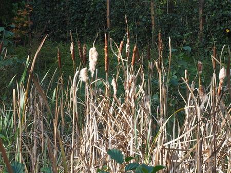 cattail flowering (Typha latifolia)