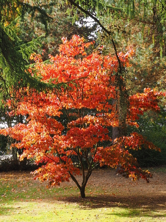 discolored maple in october