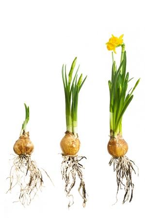 daffodil: narcissus growing stadium