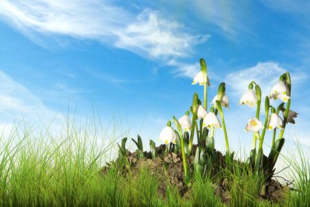snow drops in green grass, blue sky as background with some clouds photo