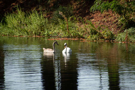 A pair of swans in Cologne's waters