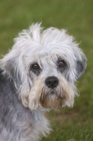 dandy: Dandy Dinmont Terrier Stock Photo