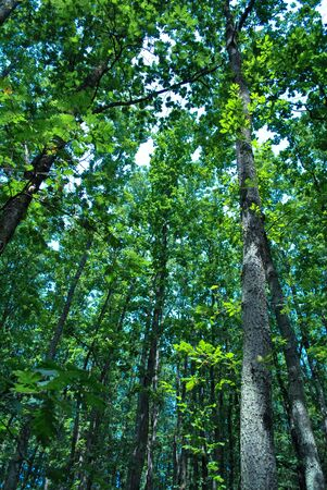 dense forest: dense forest trees canopy