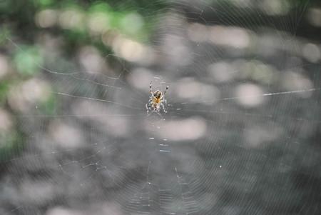 spiderweb: spider on spiderweb with blurred background