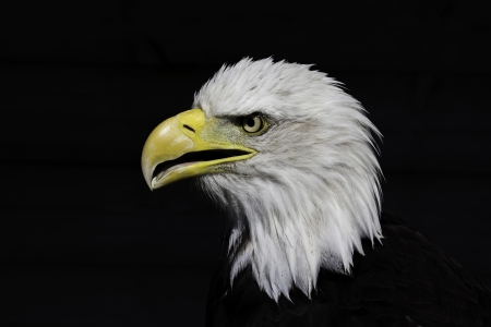 American bald eagle head shown in profile and isolated against the background  This magnificent bird of prey has obvious connotations with freedom, strength and national pride  photo