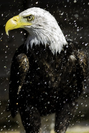 American Bald eagle in a summer shower  At full size it is clear to see the nictitating membrane  third eyelid  in the process of being drawn back to protect the eye  Water drips from, and splashes off, the bird
