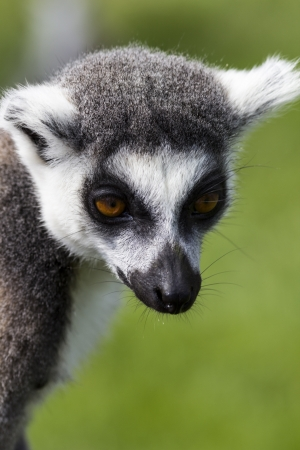 Face of a ring tailed lemur Stock Photo - 15252775