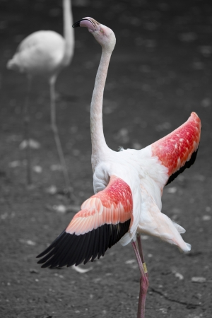 Pink flamingo stands out as it proudly displays with outstretched wings  photo