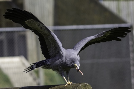 African Harrier hawk with wings outstretched and eating a piece of meat  Stock Photo - 15312280