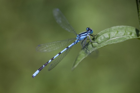 Blue damsel fly landing on leaf  Stock Photo - 15312285