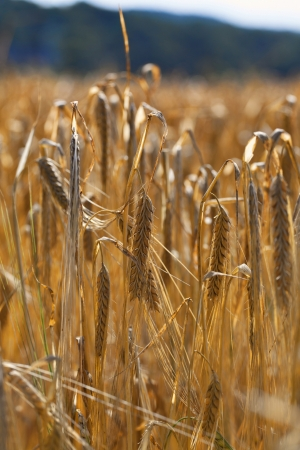 Field of organic wheat ready for harvest