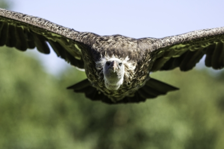Head-on picture of a Ruppell's Griffon vulture in flight Stock Photo - 15312284
