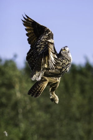 This image shows a European Eagle owl soon after take off Stock Photo