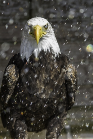American Bald Eagle with one eye protected against the direction of the rain droplets