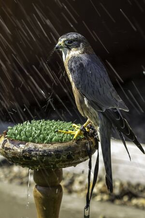 falco: A beautiful male Merlin stands in a summer shower of rain  Stock Photo