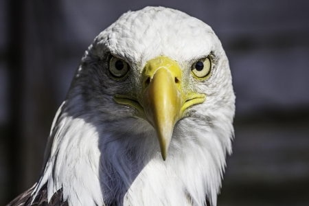 birds eye: Bald eagle stare  Close-up shot with many nationalistic connotations
