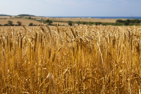 Close up of wheat ears in a field ready for harvest  Focus is on the foreground with soft focus coastal view to the rear  The wheat is organic and the picture was taken on a fresh summer Stock Photo - 15345367