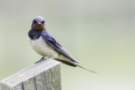 Swallow - Hirundo rustica - resting on a fence post and looking directly at the camera. Plain pastel green background allows for copy space.