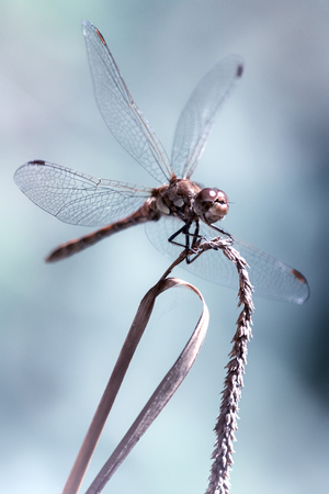libellulidae: Male Common Darter (Sympetrum striolatum) dragonfly in with wings splayed, isolated against plain bluish background. From the family Libellulidae. Beautiful aesthetic...