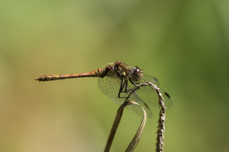 Male Common Darter (Sympetrum striolatum) dragonfly in profile isolated against blurred green background. From the family Libellulidae.