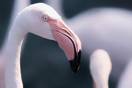 dreamlike: Beautiful dream-like image of a Greater Flamingo. Eye is sharp but overall image has a soft feel, Gorgeous pink colours against a greeny blue blurred backgraound.