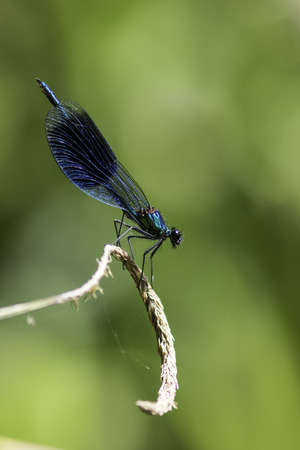 splendens: Beautiful male Banded Demoiselle( Calopteryx splendens) belonging to the family Calopterygidae. Isolated against a blurred green background that perfectly compliments the stunning metallic blue of the body and lacy wing. Shown in profile.