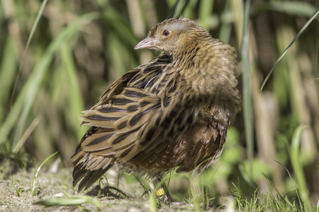 The corn crake, corncrake or landrail (Crex crex) is a bird in the rail family. Here shown in classic profile pose.