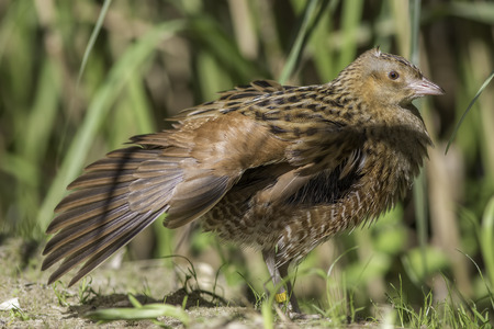 The corn crake, corncrake or landrail (Crex crex) is a bird in the rail family. Here shown in profile with outstretched wing. Stock Photo