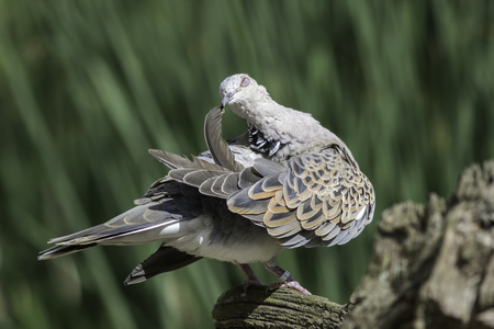 Beautiful sublime image of a bird preening its feathers. European turtle dove (Streptopelia turtur) holding a wing feather. The species of bird is now included on the Red List of conservation concern. Stock Photo