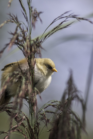 peers: Juvenile male Bearded Tit, also known as a Bearded Reedling, peers from behind foliage. The sharp image of he bird stands out from soft foliage.