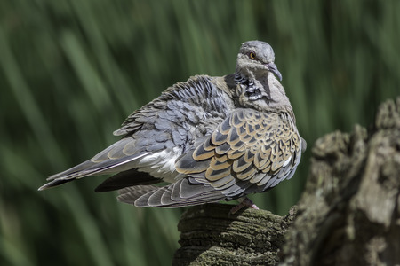 European turtle dove (Streptopelia turtur) with ruffled plumage after preening. This species of bird is now included on the Red List of conservation concern. Stock Photo