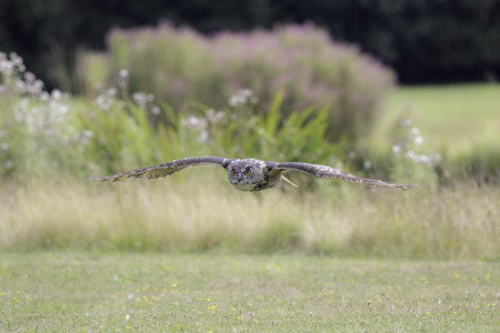 Eurasian eagle owl (bubo bubo), also known as Eurpopean Eagle owl, flying low over a field. Aesthetic provided by the blurred background of coloured vegetation. The eagle-owl is from the higher classification of horned owls and is one of the largest speci Stock Photo