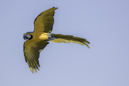 Blue and gold (yellow) macaw (Ara ararauna) in flight against blue sky Stock Photo