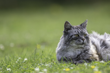 Domestic cat (this one is actually semi-feral) laying on grass with copy space. Blurred background provides space for text. Stock Photo