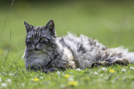 moggy: Domestic long-haired cat (this one is actually semi-feral) laying on a garden lawn.