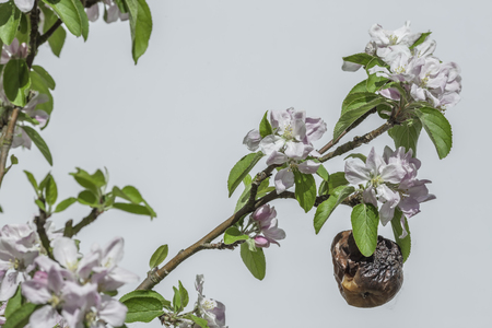 new age: Withered apple surrounded by new blossom. The image is a symbolic of old age and coping with age-related problems and diseases in a youthful world. Metaphoric issues relating to decay, death and rejuvenation.