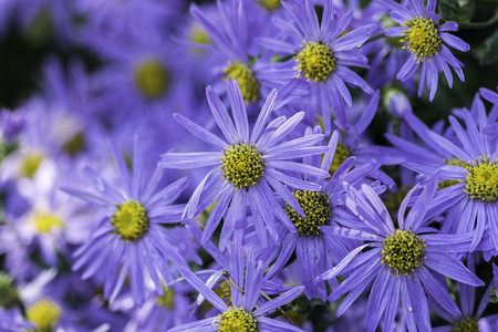 Aster flowers, also known as Michaelmas daisies, typical of an English country garden.