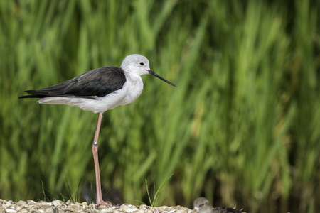 wade: Black-winged stilt, also known as common stilt or pied stilt, (Himantopus himantopus), shown standing in perfect profile