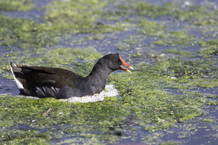 Moorhen (Gallinula chloropus), also known as the marsh hen or skitty coot. Here shown swimming after diving for food in water with green algae over the surface.