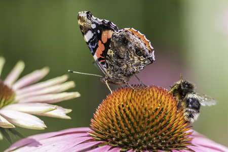 Insects pollinating an Echinacea flower. Macro snapshot of nature in a summer garden. Stock Photo