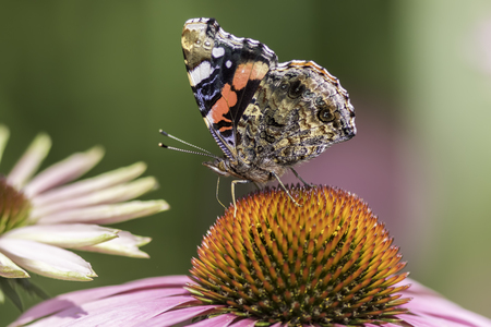Red Admiral butterfly  (Vanessa atlanta) in profile, with wings up, on an Echinacea, purpurea flower. Stock Photo
