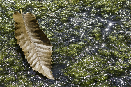 seasonality: Transition of the seasons. A single brown leaf rests on pond algae clearly illuminated by bright Summer sun.