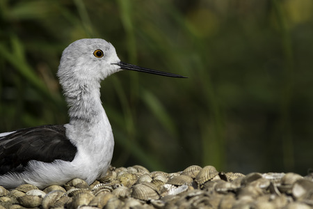 Black-winged stilt (himantopus himantopus), also known as common stilt or pied stilt. Wading bird shown resting on sea shells. Copy space provided by blurred background. Stock Photo