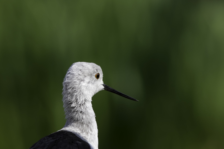 himantopus: Black-winged stilt (himantopus himantopus), also known as common stilt or pied stilt. Selective focus on the birds face provides natural copy space. Stock Photo