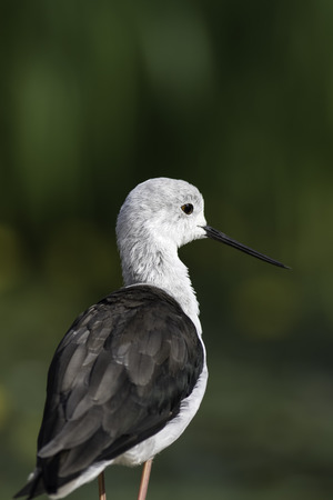 Black-winged stilt (himantopus himantopus), also known as common stilt or pied stilt. Selective focus on the birds face provides natural copy space provided by bokeh.