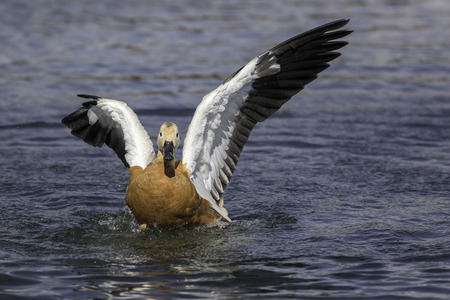 incapacitated: Ruddy shelduck (Tadorna ferruginea) with damaged right wing. The bird was unable to fly but scooted across the water at speed.