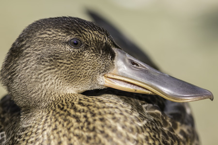 Profile close up of a female Northern Shoveler - shoveller - duck (Anas clypeata). Clearly shows the comb-like structures on the edge of the bill that act like sieves when feeding. Stock Photo